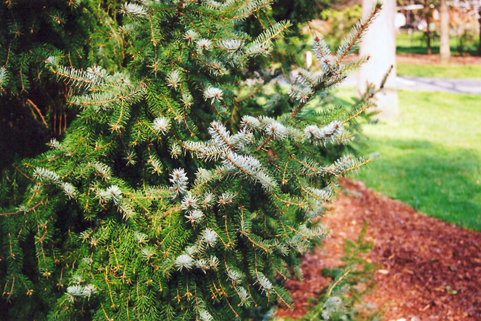 Serbian Spruce (Picea omorika) at Homestead Gardens