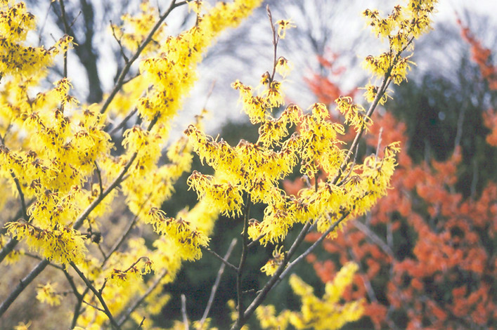 Arnold Promise Witchhazel (Hamamelis x intermedia 'Arnold Promise') at Homestead Gardens