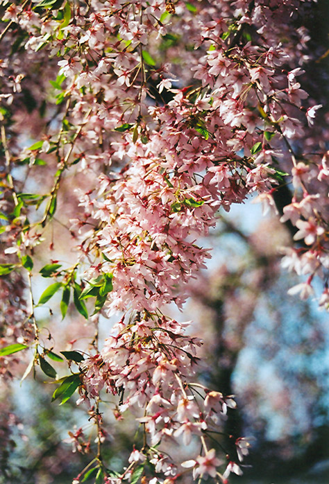 Pink Weeping Higan Cherry (Prunus subhirtella 'Pendula Rosea') at Homestead Gardens