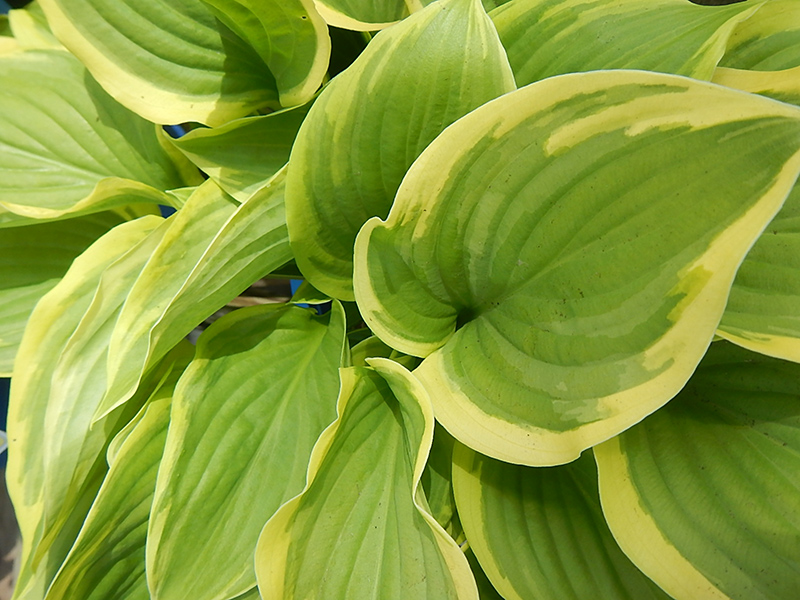 Fragrant Dream Hosta (Hosta 'Fragrant Dream') at Homestead Gardens