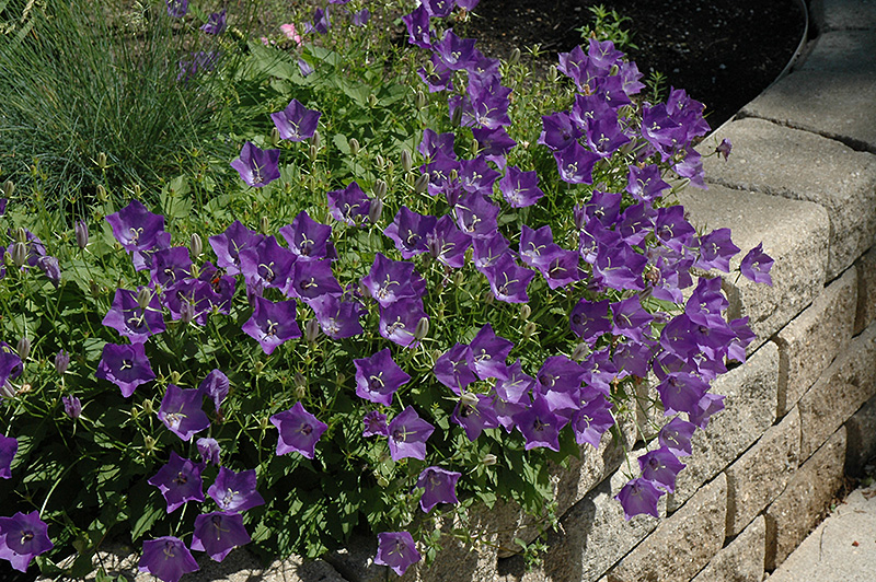 Blue Clips Bellflower (Campanula carpatica 'Blue Clips') at Homestead Gardens