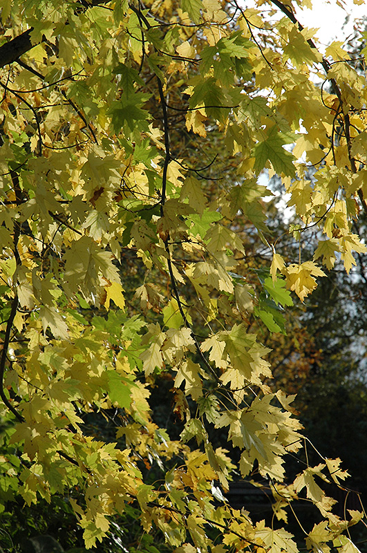 Silver Maple (Acer saccharinum) at Homestead Gardens