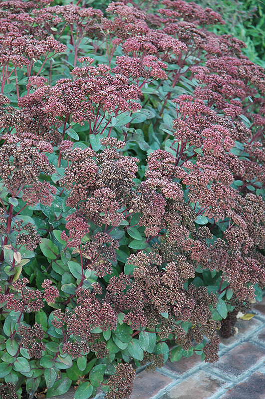 Matrona Stonecrop (Sedum 'Matrona') at Homestead Gardens