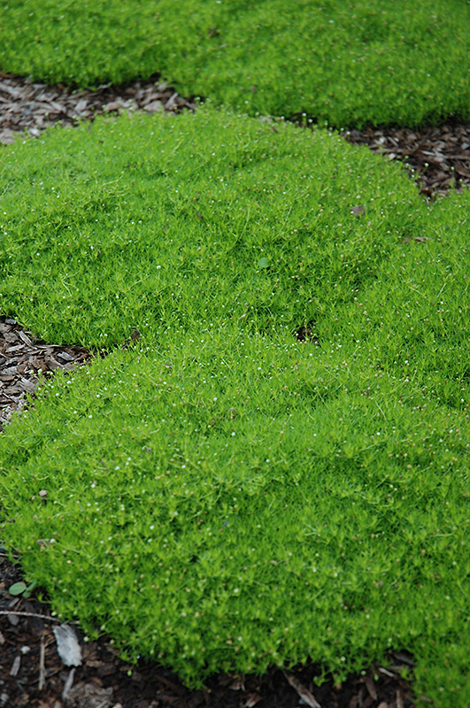 Irish Moss (Sagina subulata) at Homestead Gardens