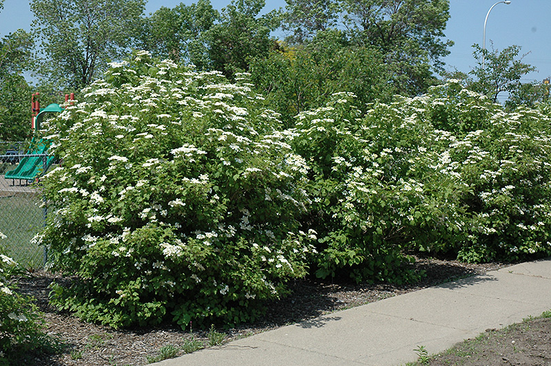 Highbush Cranberry (Viburnum trilobum) at Homestead Gardens