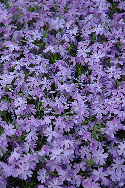 Emerald Blue Moss Phlox (Phlox subulata 'Emerald Blue') at Homestead Gardens