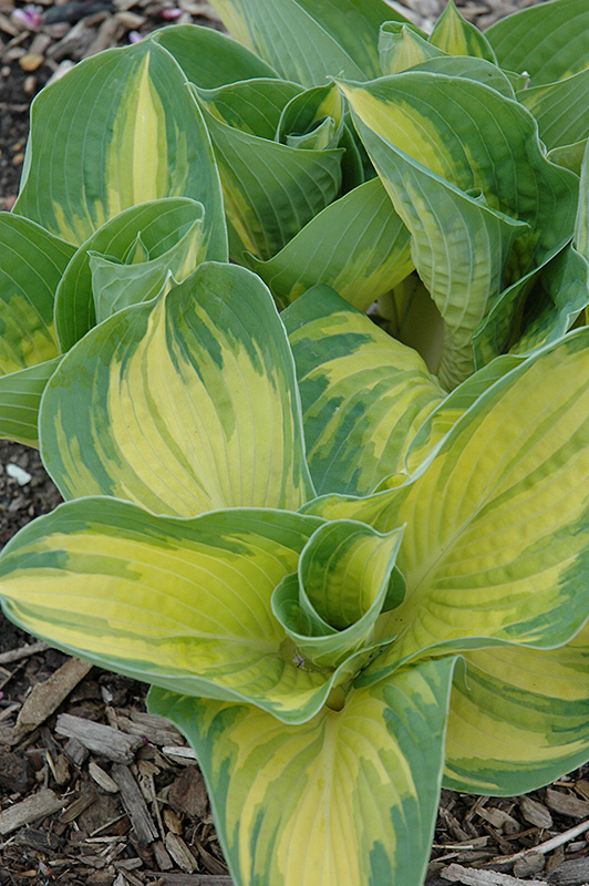Great Expectations Hosta (Hosta 'Great Expectations') at Homestead Gardens
