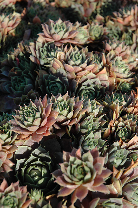 Red Heart Hens And Chicks (Sempervivum 'Red Heart') at Homestead Gardens