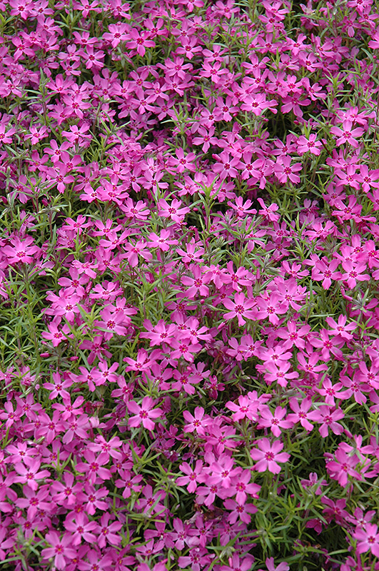 Crimson Beauty Moss Phlox (Phlox subulata 'Crimson Beauty') at Homestead Gardens