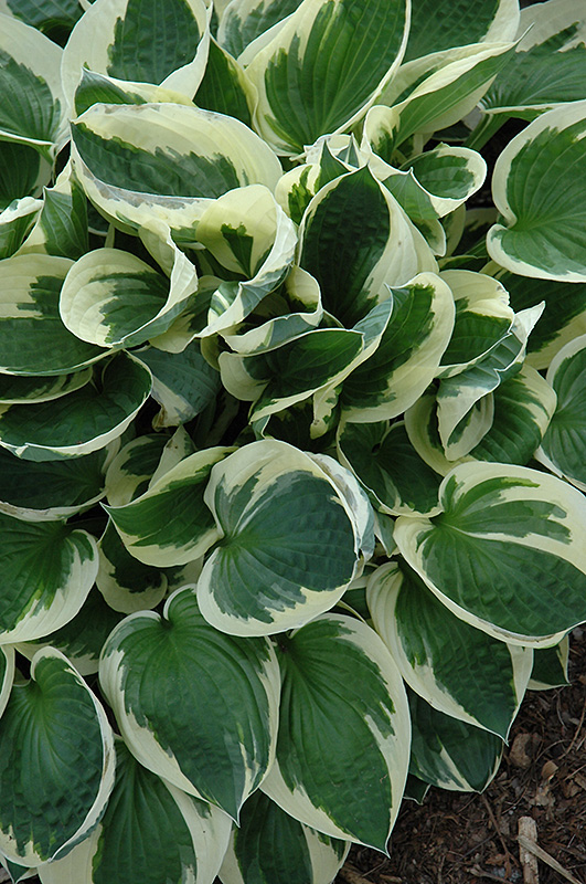 Patriot Hosta (Hosta 'Patriot') at Homestead Gardens