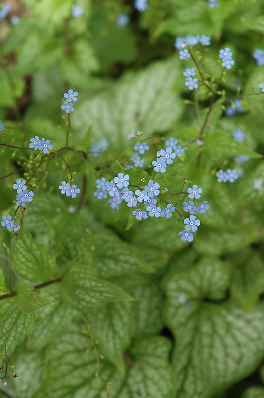 Mr. Morse Bugloss (Brunnera macrophylla 'Mr. Morse') at Homestead Gardens