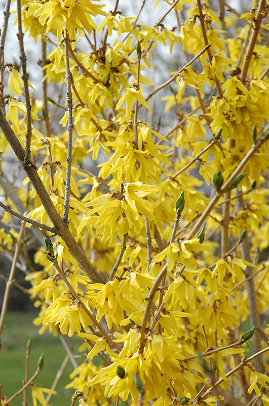 Northern Gold Forsythia (Forsythia 'Northern Gold') at Homestead Gardens