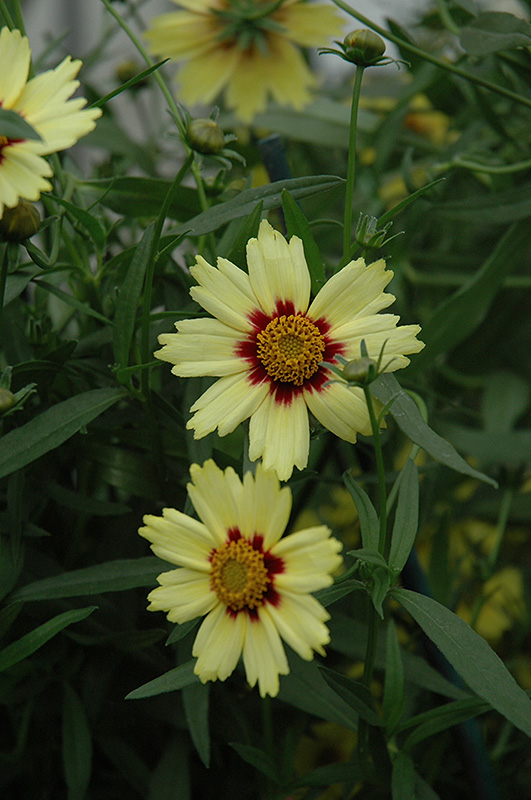 Red Shift Tickseed (Coreopsis 'Red Shift') at Homestead Gardens