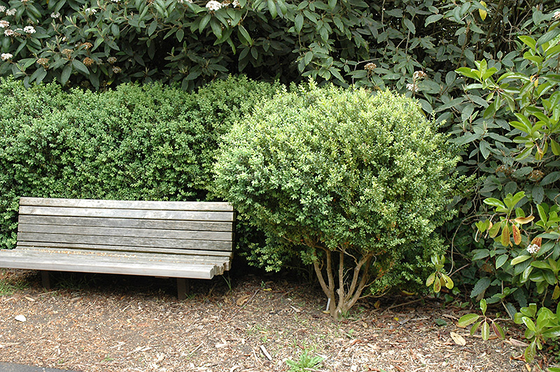 Common Boxwood (Buxus sempervirens) at Homestead Gardens