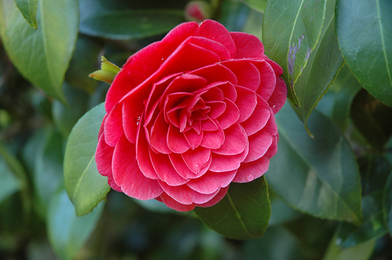 Glen No. 40 Camellia (Camellia japonica 'Glen No. 40') at Homestead Gardens