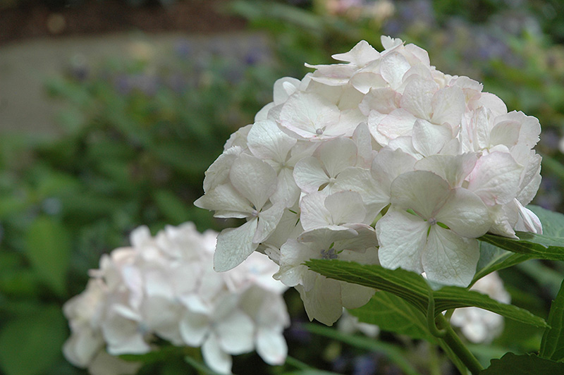 Sister Theresa Hydrangea (Hydrangea macrophylla 'Sister Theresa') at Homestead Gardens