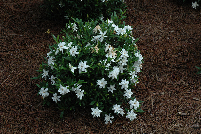 Frost Proof Hardy Gardenia (Gardenia jasminoides 'Frost Proof') at Homestead Gardens