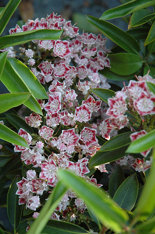 Carousel Mountain Laurel (Kalmia latifolia 'Carousel') at Homestead Gardens