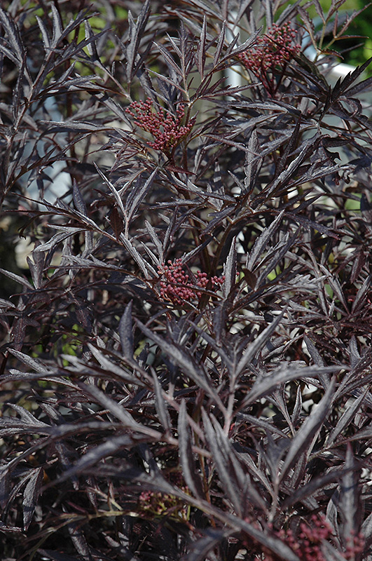 Black Lace Elder (Sambucus nigra 'Eva') at Homestead Gardens