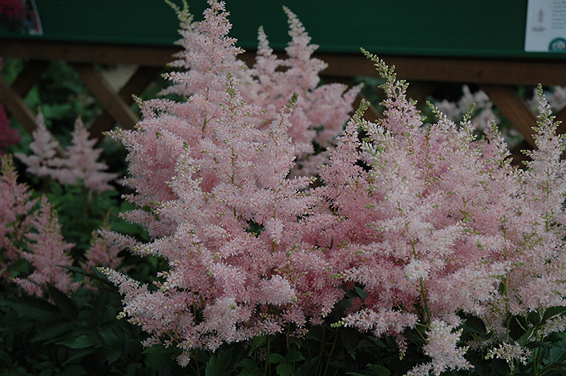 Younique Silvery Pink Astilbe (Astilbe 'Verssilverypink') at Homestead Gardens