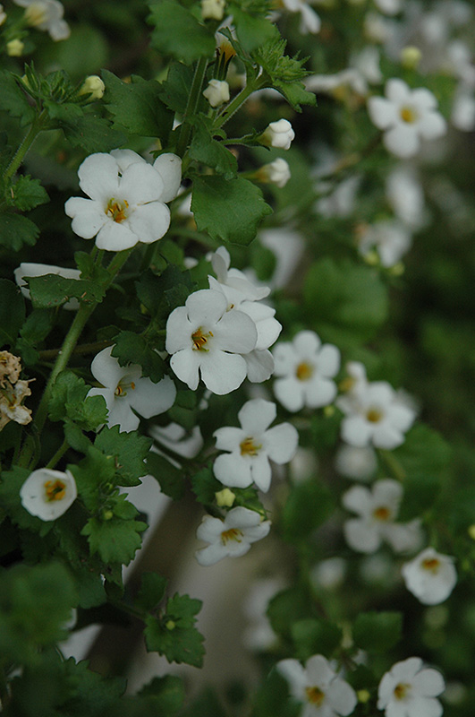 Abunda Giant White Bacopa (Sutera cordata 'Abunda Giant White') at Homestead Gardens