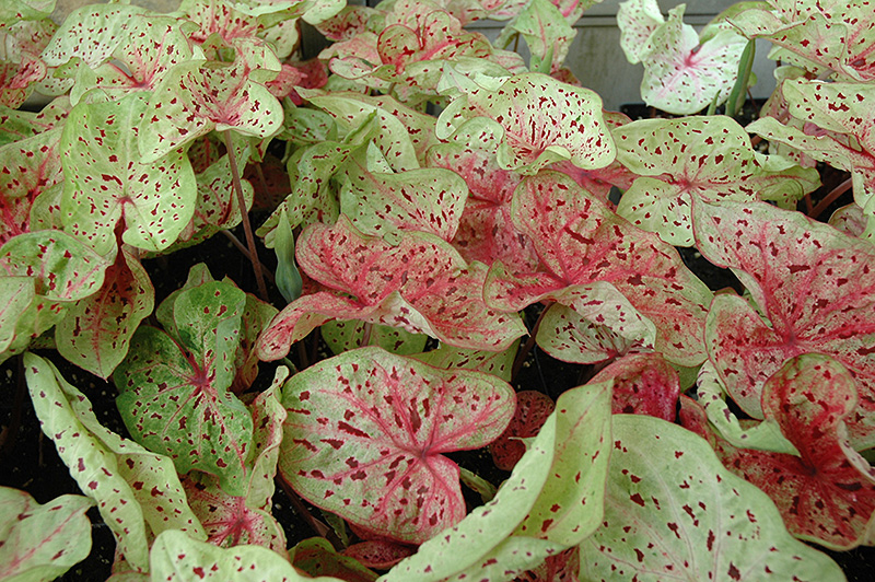 Miss Muffet Caladium (Caladium 'Miss Muffet') at Homestead Gardens