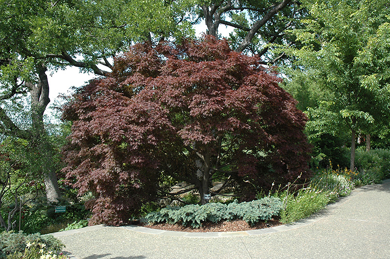 Burgundy Lace Japanese Maple (Acer palmatum 'Burgundy Lace') at Homestead Gardens
