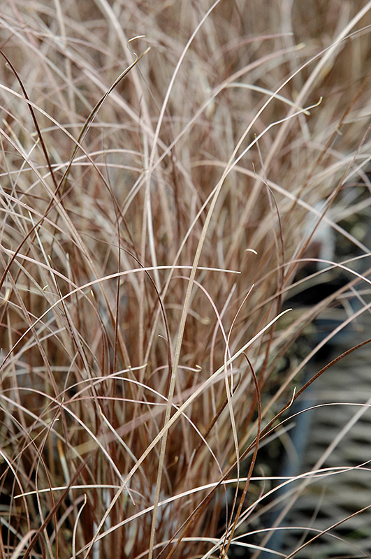Leatherleaf Sedge (Carex buchananii) at Homestead Gardens