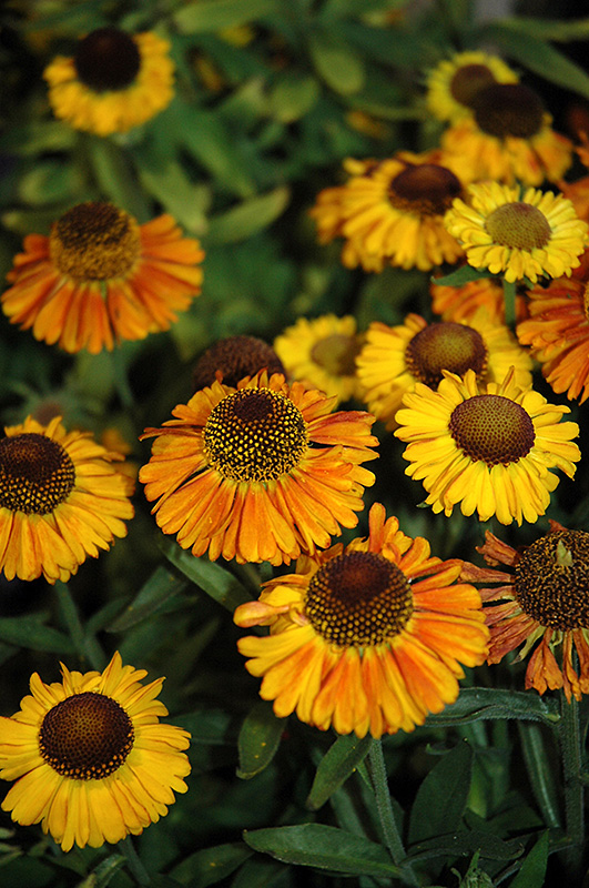 Short 'n' Sassy Sneezeweed (Helenium 'Short 'n' Sassy') at Homestead Gardens