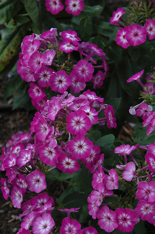 Purple Eye Flame Garden Phlox (Phlox paniculata 'Barthirtythree') at Homestead Gardens