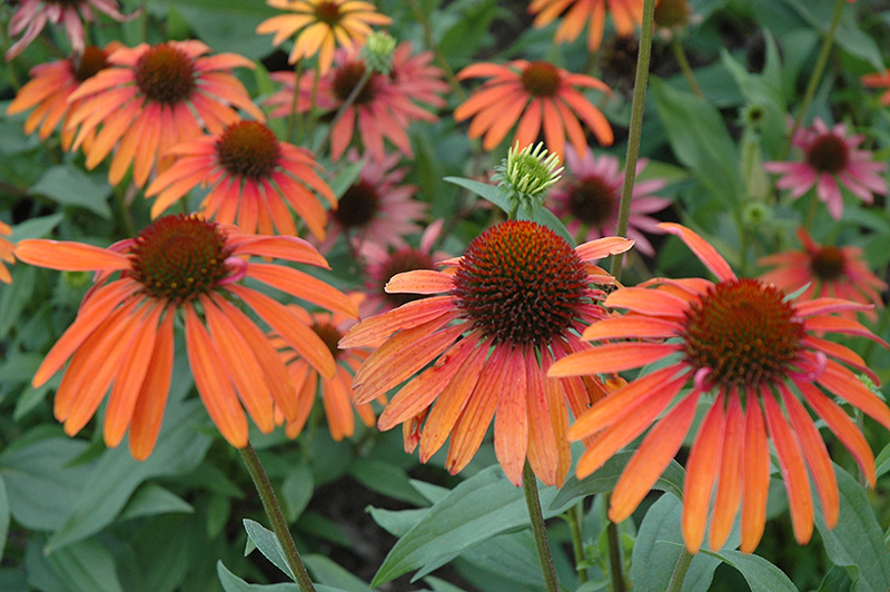 Summer Sun Coneflower (Echinacea 'Summer Sun') at Homestead Gardens