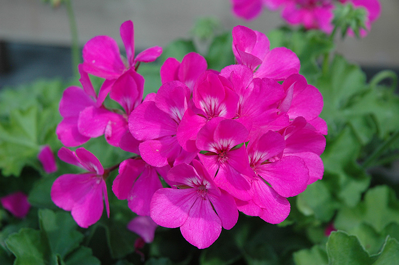 Caliente Lavender Geranium (Pelargonium 'Caliente Lavender') at Homestead Gardens