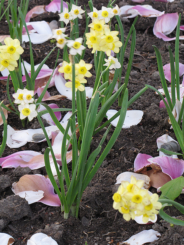 Minnow Miniature Daffodil (Narcissus 'Minnow') at Homestead Gardens