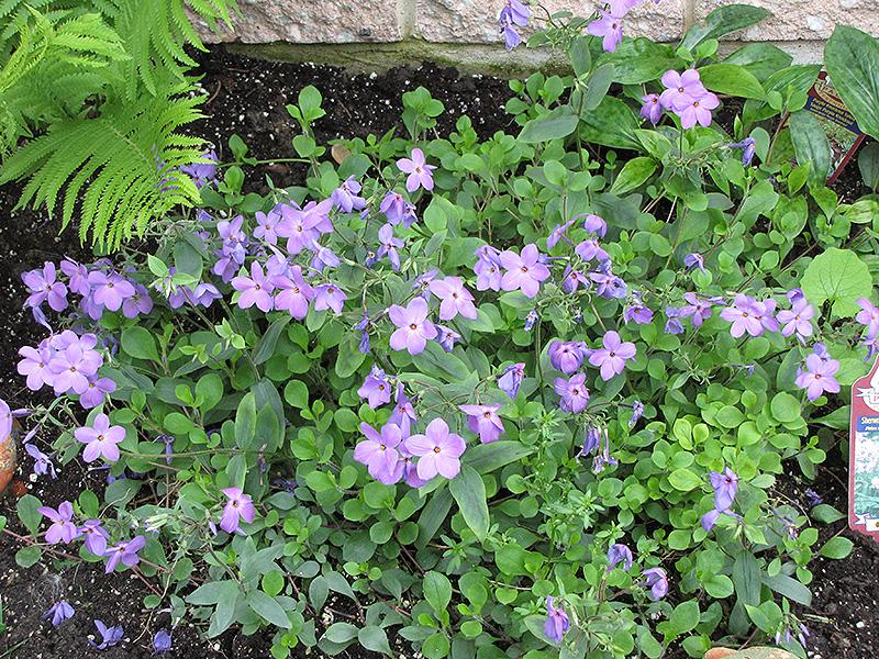 Sherwood Blue Woodland Phlox Phlox Stolonifera Sherwood Blue