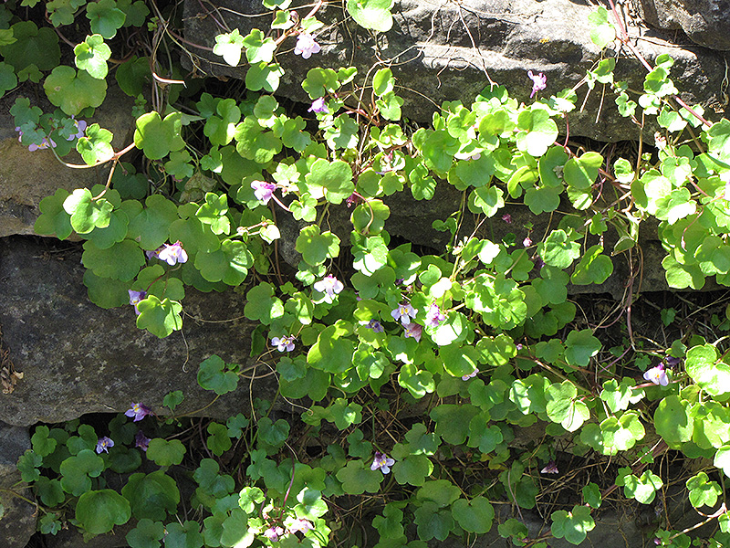 Kenilworth Ivy (Cymbalaria muralis) at Homestead Gardens