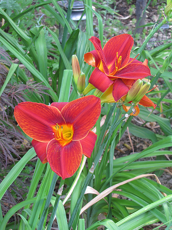 Big Red Daylily (Hemerocallis 'Big Red') at Homestead Gardens