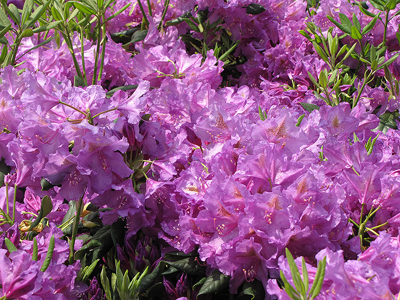 Lee's Dark Purple Rhododendron (Rhododendron catawbiense 'Lee's Dark Purple') at Homestead Gardens