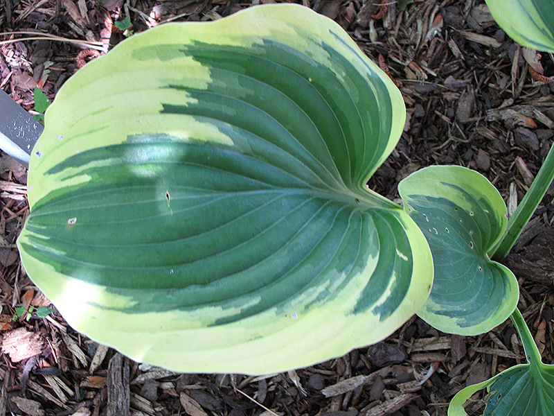 Ivory Coast Hosta (Hosta 'Ivory Coast') at Homestead Gardens
