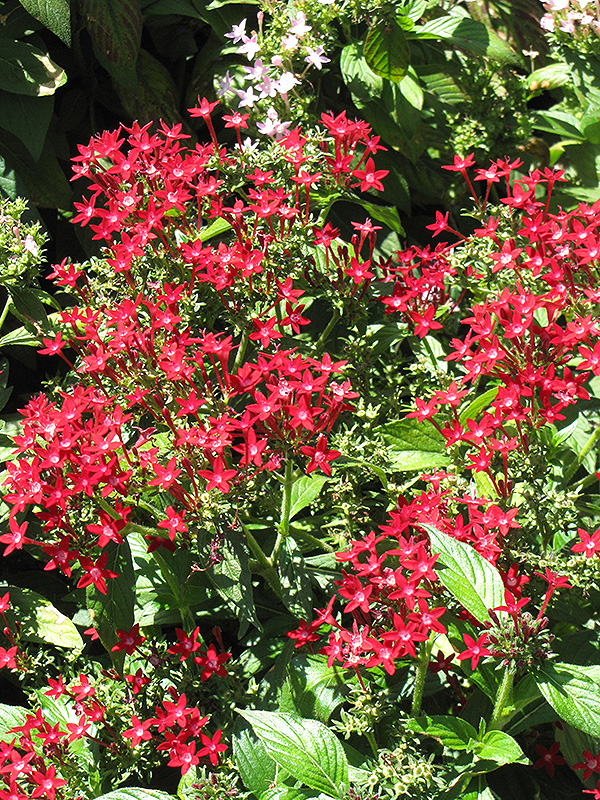 Starla Red Star Flower (Pentas lanceolata 'Starla Red') at Homestead Gardens