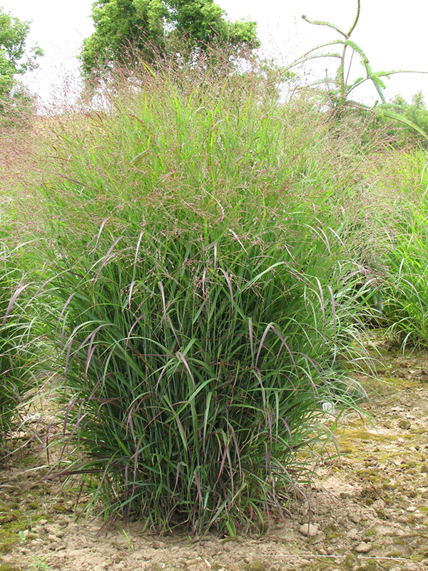 Prairie Sky Switch Grass (Panicum virgatum 'Prairie Sky') at Homestead Gardens