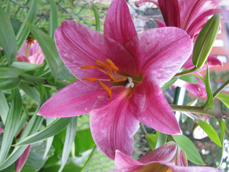Pink Perfection Trumpet Lily (Lilium 'Pink Perfection') at Homestead Gardens