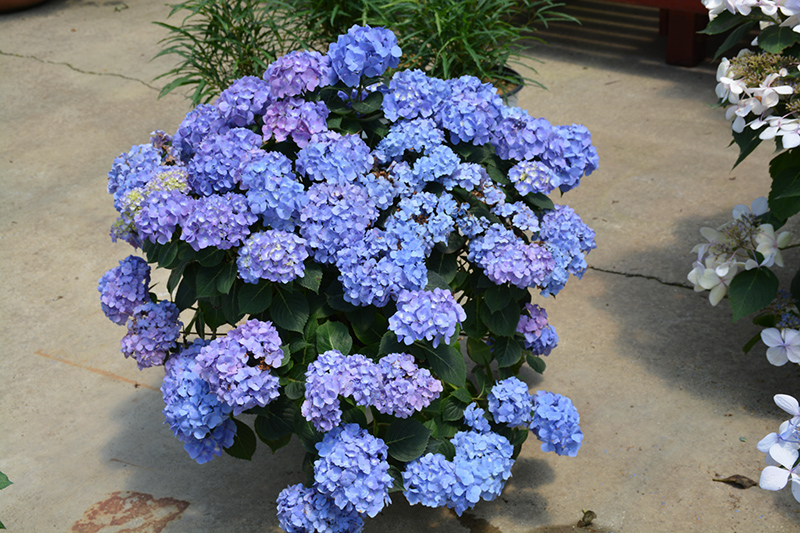 Let's Dance Blue Jangles Hydrangea (Hydrangea macrophylla 'SMHMTAU') at Homestead Gardens