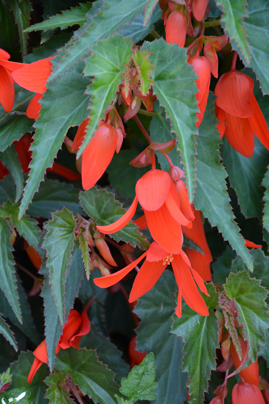 Santa Cruz Sunset Begonia (Begonia boliviensis 'Santa Cruz Sunset') at Homestead Gardens
