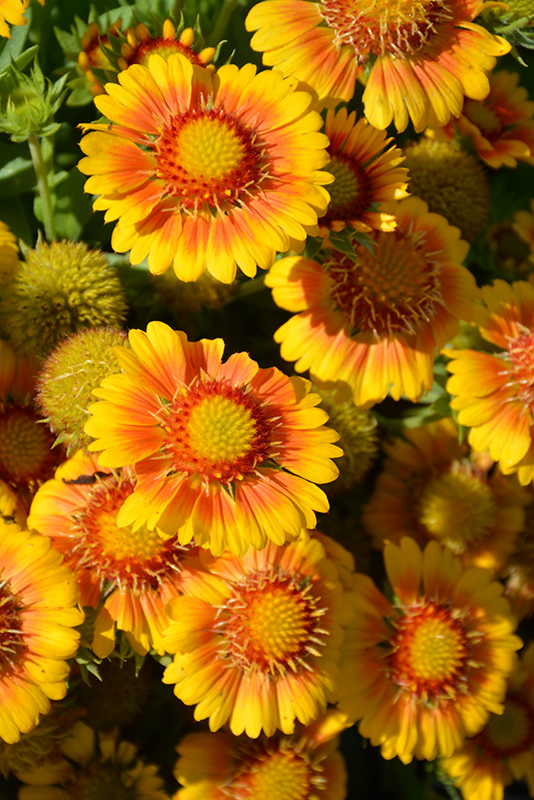 Arizona Apricot Blanket Flower (Gaillardia x grandiflora 'Arizona Apricot') at Homestead Gardens