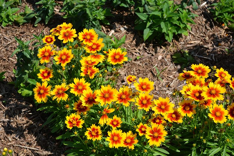 UpTick Gold and Bronze Tickseed (Coreopsis 'Baluptgonz') at Homestead Gardens
