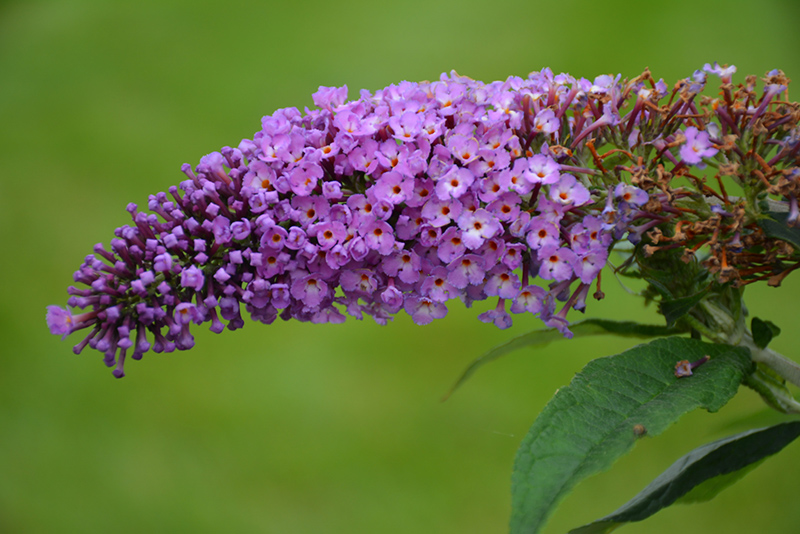 Pugster Periwinkle Butterfly Bush (Buddleia 'SMNBDO') at Homestead Gardens