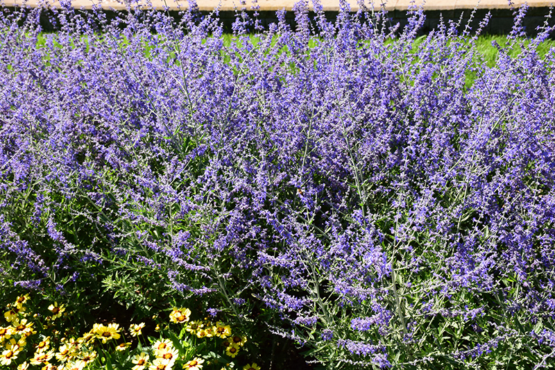 Crazy Blue Russian Sage (Perovskia atriplicifolia 'Crazy Blue') at Homestead Gardens