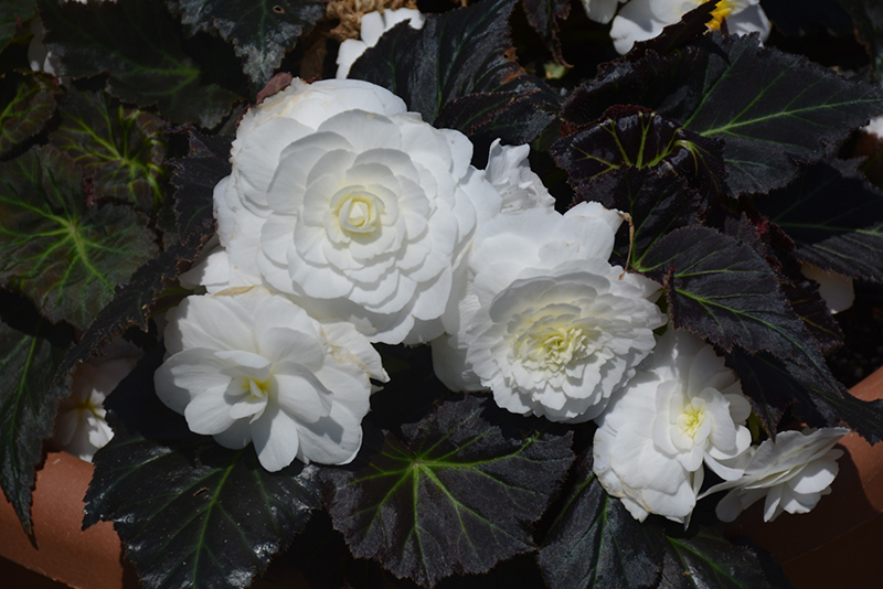 Nonstop Mocca White Begonia (Begonia 'Nonstop Mocca White') at Homestead Gardens