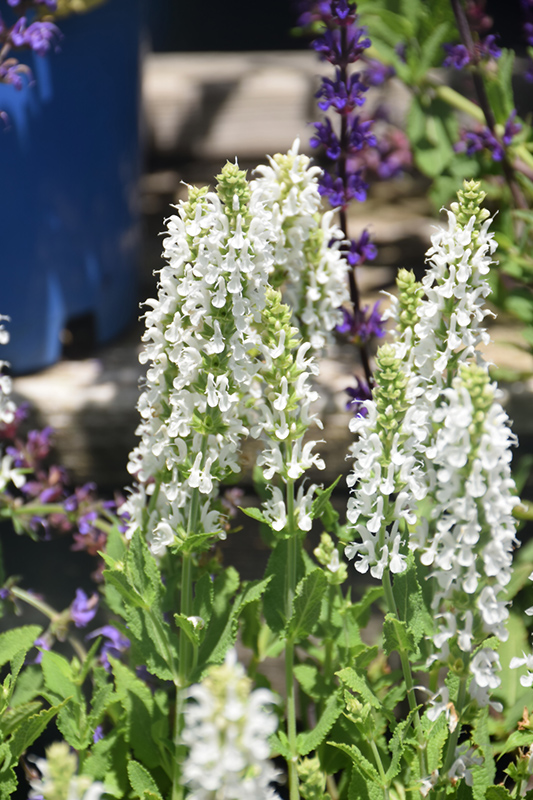 Snow Hill Sage (Salvia x sylvestris 'Snow Hill') at Homestead Gardens