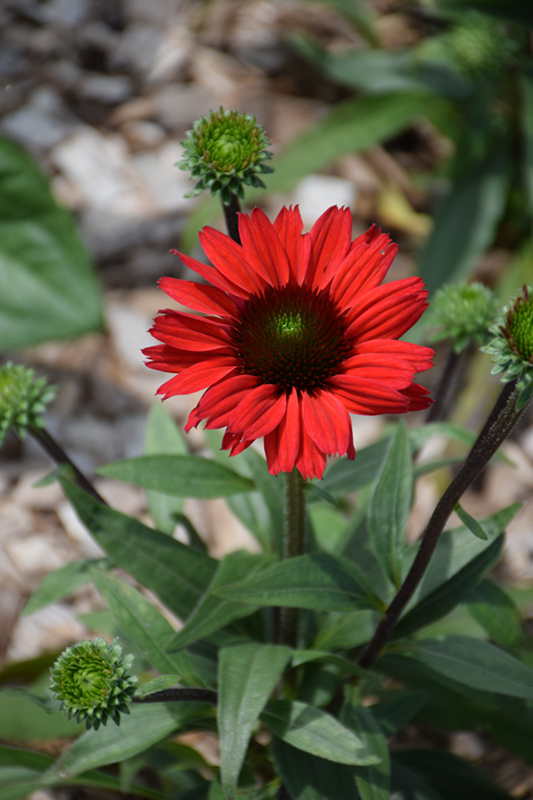 Kismet Red Coneflower (Echinacea 'TNECHKRD') at Homestead Gardens